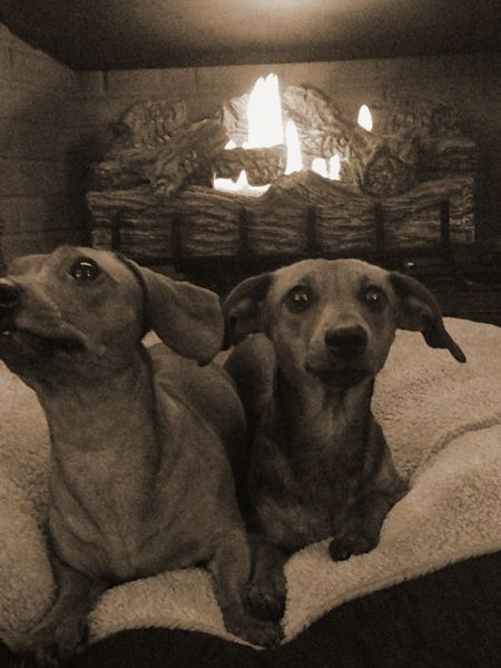 dachsunds_by_the_fire1